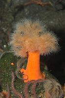 Seenelke, See-Nelke, Blumentier, Anthozoa, Metridium senile, clonal plumose anemone, frilled anemone, plumose sea anemone, brown sea anemone, plumose anemone