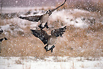 Two Canada geese land in falling snow in Colorado.