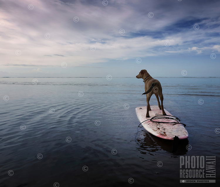 Isabella, a rescue dog on a surfboard, owns the day at Maunalua Bay, O'ahu.