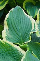 Hosta 'Lakeside Rhapsody variegated with cream edge margin