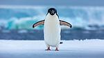 Antarctica, Adélie penguin (Pygoscelis adeliae)