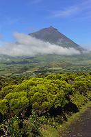 Baumheide (Erica azorica) vor Pico Alto auf der Insel Pico, Azoren, Portugal