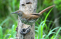 Adult long-billed thrasher on tree