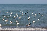 Mantelmöwe, Trupp aus Jungtieren und Alttieren, adult und juvenil, Mantel-Möwe, Möwe, Mantelmöve, Larus marinus, great black-backed gull