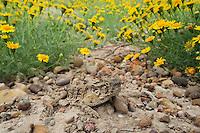 Texas Horned Lizard (Phrynosoma cornutum), adult among Dogweed (Dyssodia pentachaeta), Laredo, Webb County, South Texas, USA