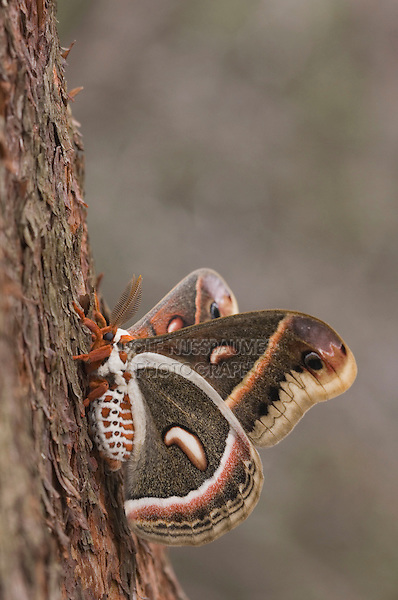 Cecropia Moth, Hyalophora cecropia, adult resting on Texas Madrone(Arbutus xalapensis) bark, Uvalde County, Hill Country, Texas, USA, April 2006