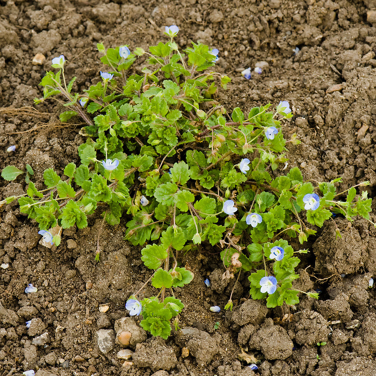 Common field speedwell (Veronica persica), mid May.
