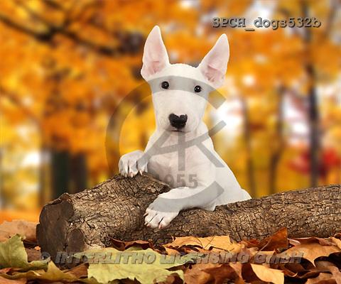 Xavier, ANIMALS, dogs, photos(SPCHdogs532b,#A#) Hunde, perros