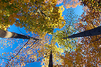 A vertical view of trees covered in fall leaves Buckingham County, VA.  Photo/Andrew Shurtleff