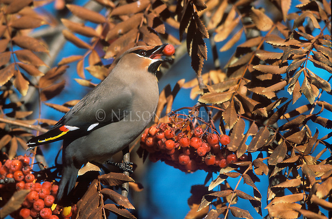 A Bohemian Waxwing with a mountain ash berry in its beak in Montana