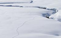 Coyote tracks meander in Cascade Meadows.
