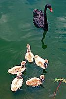 Animais. Aves. Cisne preto e filhotes (Cygnus atratus). SP. Foto de Juca Martins.