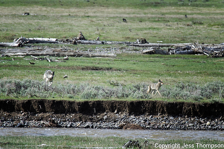 Wolf Chasing a Coyote in Yellowstone National Park