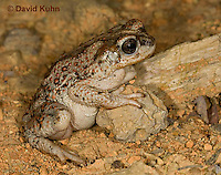 1101-0822  Adult Red-spotted Toad in Desert (Southwestern United States), Anaxyrus punctatus, formerly Bufo punctatus  © David Kuhn/Dwight Kuhn Photography.