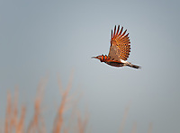 Northern Flicker, Red-Shafted, in flight