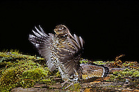 Ruffed Grouse drumming (spring mating-territorial display), Western U.S., spring.