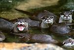 Oriental small-clawed otters, Sarawak, Malaysia