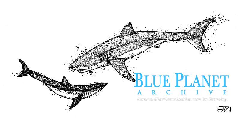 Great white shark, Carcharodon carcharias, attacking shortfin mako shark, Isurus oxyrinchus, pen and ink illustration.