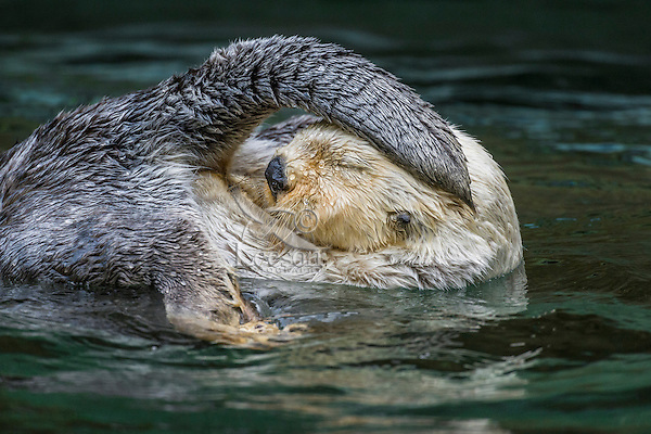 Sea Otter (Enhydra lutris) grooming.  Keeping their fur clean is important to maintaining their core body temperature while living in the cold ocean water.  Otter get oil from a gland at the base of their tails that they rub on their fur.