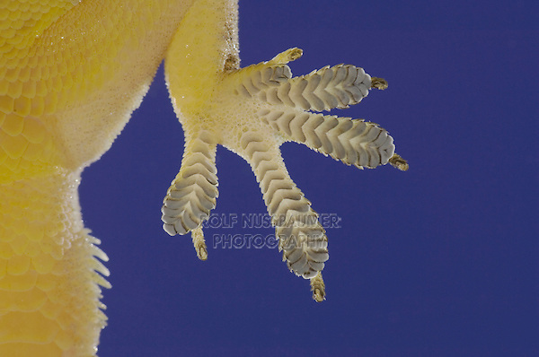 Indo-Pacific Gecko, Hemidactylus garnotii, foot close up on glass showing underside, Central Pacific Coast, Costa Rica, Central America