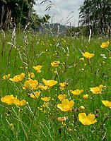Wild flowers in a hay meadow.