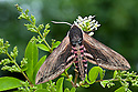 Privet hawkmoth {Sphingx ligustri} resting on a privet bush {Ligustrum vulgare}, a food plant of its caterpillar. Pembrokeshire, UK. July.