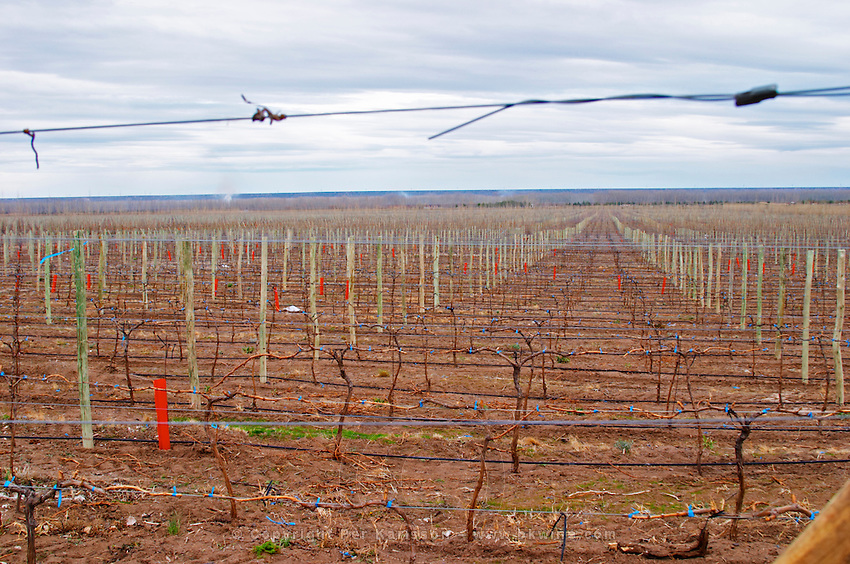 View over the vineyard. Bodega Valle Perdido (previously Arquen) Winery, Neuquen, Patagonia, Argentina, South America
