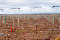 View over the vineyard. Bodega Valle Perdido (previously Arquen) Winery, Neuquen, Patagonia, Argentina, South America