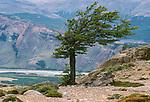 Windswept tree, Argentina