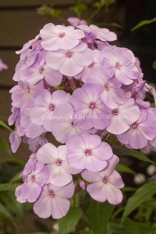 Phlox paniculata Pink Lady flower cluster