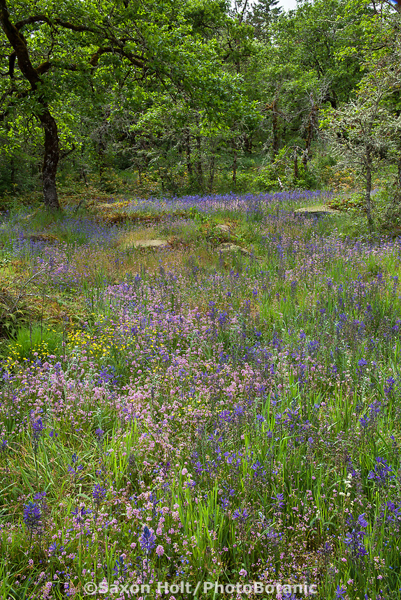 Nature designs a garden - Wildflower meadow clearing in the woods; Camassia Nature Preserve, The Nature Conservancy protected park, Portland Oregon