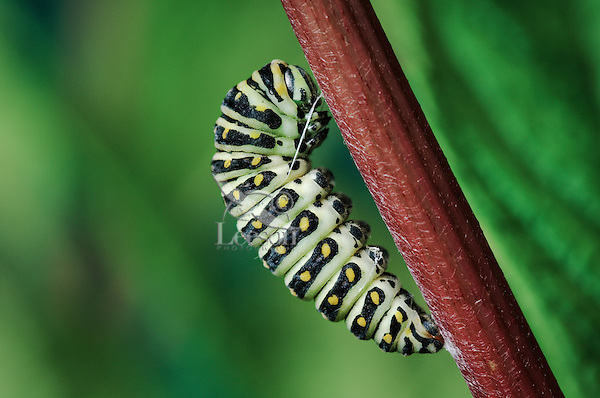 Eastern Black Swallowtail caterpillar (Papilio polyxenes asterius) prepares to pupate. Summer. Nova Scotia, Canada.