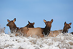 Elk herd bedded on a ridge in early winter