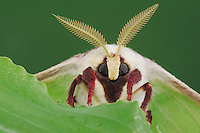 Luna Moth (Actias luna), adult head close up, New Braunfels, Texas, USA