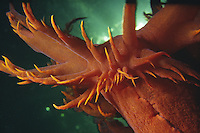 Giant Nudibranch (dendronotis iris) underwater in British Columbia, Canada.