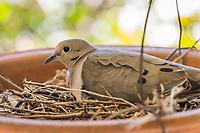 A Mourning dove on its nest immediately outside a home's front door - a touch of urban wildlife.