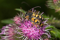 Gefleckter Schmalbock, Paarung, Kopulation, Kopula, Strangalia maculata, Stenurella maculata, Leptura maculata, Rutpela maculata, Spotted Longhorn, Yellow-black Longhorn Beetle