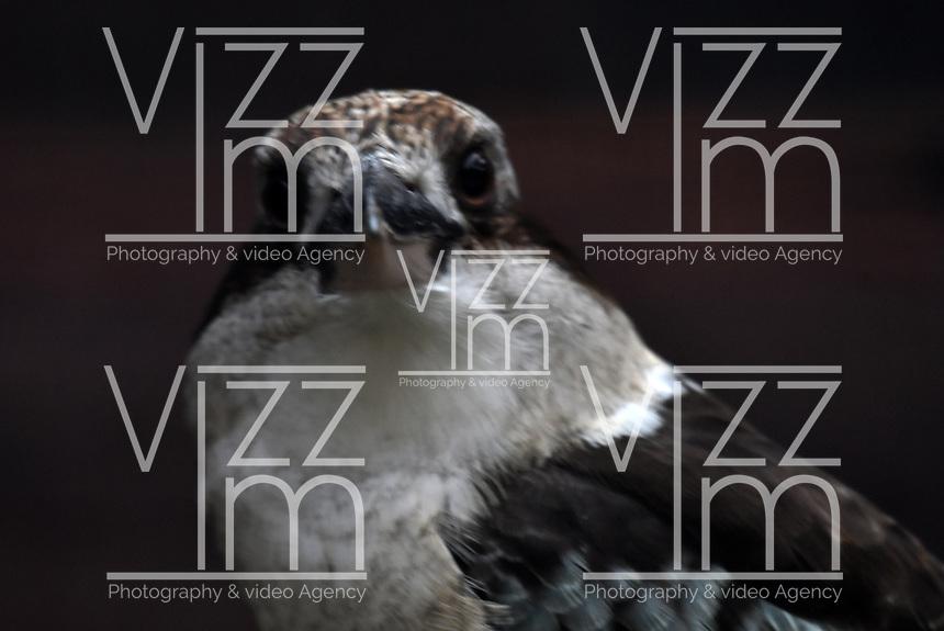 CALI - COLOMBIA - 27 - 09 - 2017: Cucaburra Común (Dacelo novaeguineae), especie de ave originaria de Australia en el Zoologico de Cali, en el Departamento del Valle del Cauca. / Cucaburra Comun (Dacelo novaeguineae), a bird species originating in Australia at the Cali Zoo, in the Department of Valle del Cauca. / Photo: VizzorImage / Luis Ramirez / Staff.