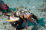 Anilao, Philippines; a pair of Flamboyant Cuttlefish (Metasepia pfefferi) 'walking' across the sandy bottom, the lead cuttlefish is actively hunting while displaying warning colors and patterns