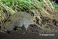 MU30-100z  Meadow Vole - in burrow along surface - Microtus pennsylvanicus