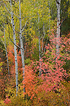 Brilliant color of a maple and aspen forest in Wasatch-Cache National Forest, Utah.