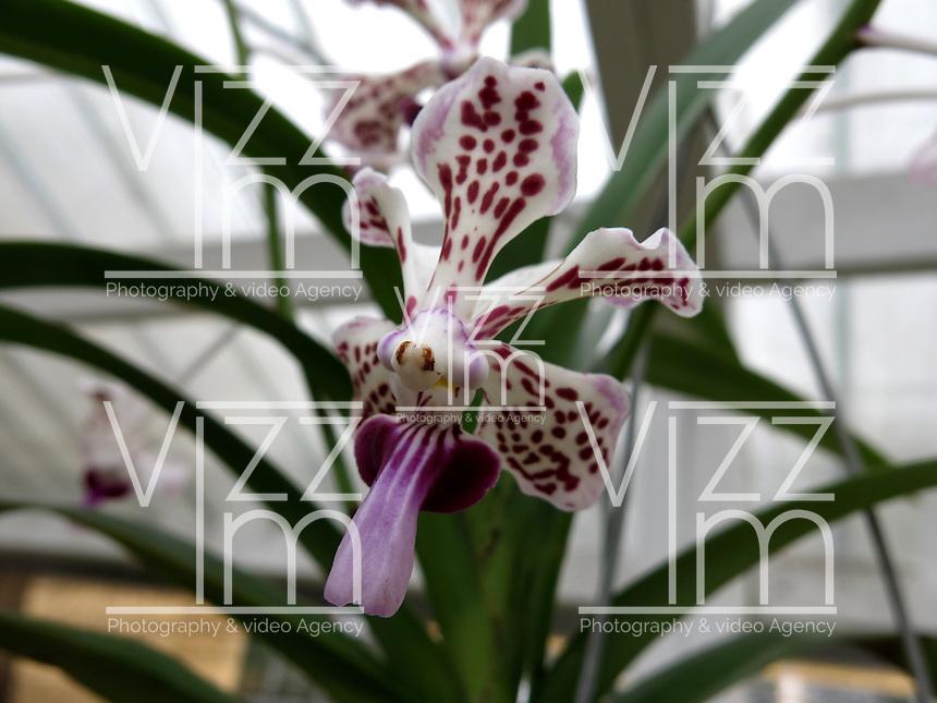 BOGOTÁ-COLOMBIA-15-01-2013. Orquídea Vanda tricolor. Orchid Vanda tricolor.  (Photo:VizzorImage)