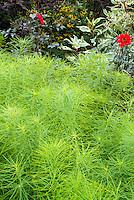 Amsonia hubrichtii with dark leafed Dahlia Bishop of LLandoff, Hemerocallis 'Poinsettia' and Cornus alba 'Elegantissima'