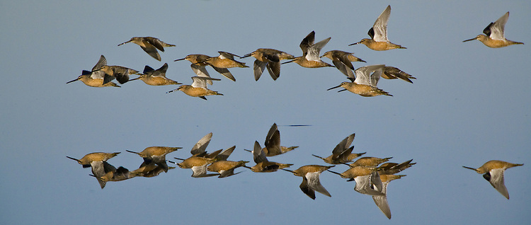 Flock of Long-billed Dowitchers flying over a marsh