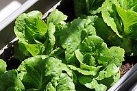 Gardening-lettuce