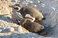 Magellanic penguin, Spheniscus magellanicus, mating pair in their burrowed nest, Cabo dos Bahias, Chubut, Patagonia, Argentina, Atlantic Ocean
