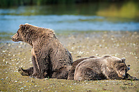 Brown Bear (Ursus arctos) mother keeps watch over her two napping yearling cubs.  She's a good mom.  Shares her food with the cubs, even when they can't get enough, and nursed them often.  Lake Clark National Park, Alaska