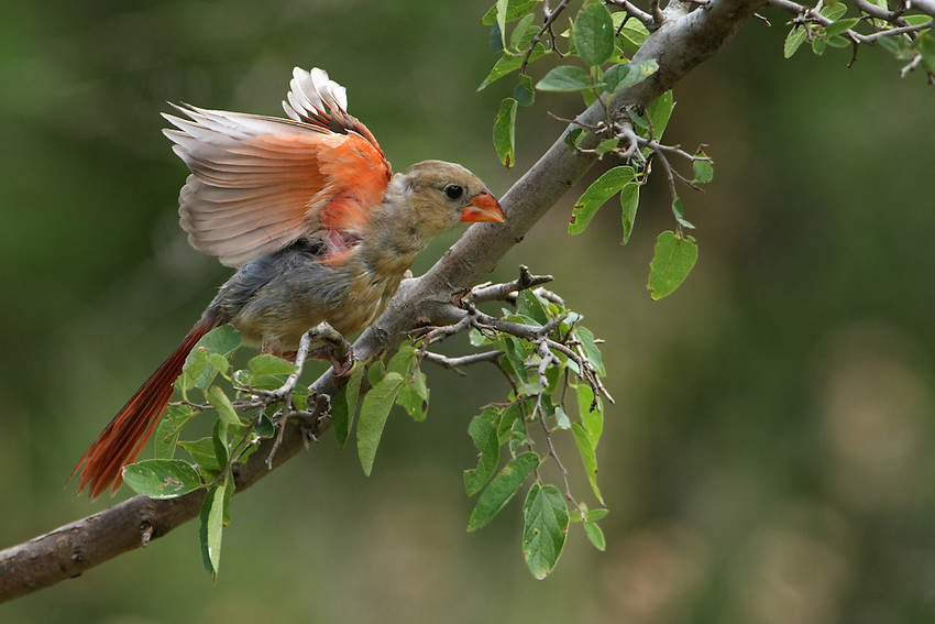 Unusual Cardinal behavior, in that the bird actually 'flapped' its wings rather slowly, somewhere between a flap & a stretch..
