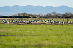 Sonny Bono Salton Sea National Wildlife Refuge, Salton Sea, California; a flock of Sandhill Cranes (Grus canadensis) foraging for food in a field to replenish energy during their migration