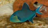 0518-1003  Niger triggerfish, Odonus niger  © David Kuhn/Dwight Kuhn Photography